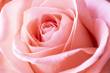 Close up view of beautiful coral pink rose. Macro image. Fresh beautiful flower as expression of love and respect for postcard and wallpaper. Horizontal. Banco de Imagens