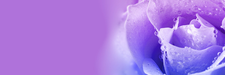 Close up view of beautiful violet rose with drops of water. Macro image. Fresh beautiful flower as expression of love and respect for postcard and wallpaper. Horizontal banner with copy space