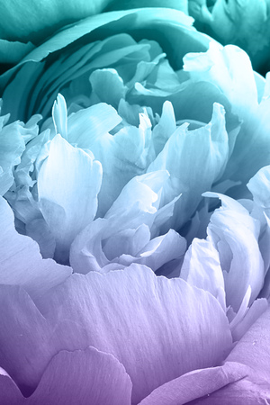 Peony flower for background. Paeonia lactiflora. Macro shot, Vertical. For creative background, postcard and wallpaper about gardening, agriculture, flowers. Blue and violet duotone