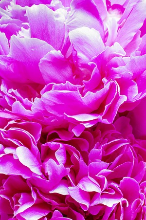 Peony pink flower for background. Paeonia lactiflora. Macro shot, Vertical. For creative background, postcard and wallpaper about gardening, agriculture, flowers Banco de Imagens