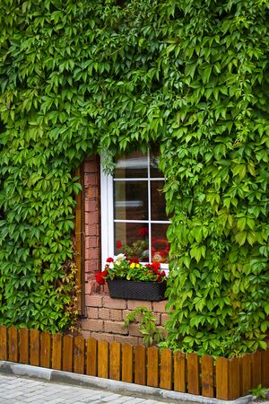 Small window with white frame and wall of the house entwined with green leaves around windows. Long pot with flowers on the still. Summer concept background and wallpaper. Vertical.