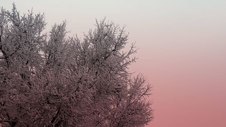 Branch of tree in snow texture, light coral duotone, Winter and Christmas background for postcard and wallpaper, vintage style, horizontal banner with copy space