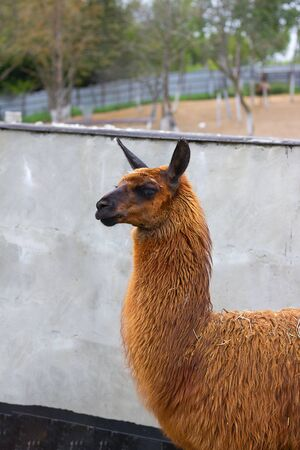 Cute orange lama with black eyes and ears profile next to grey cement wall. And sand and trees are seen far away. Alpaca, farm animal. Vertical with copy space.