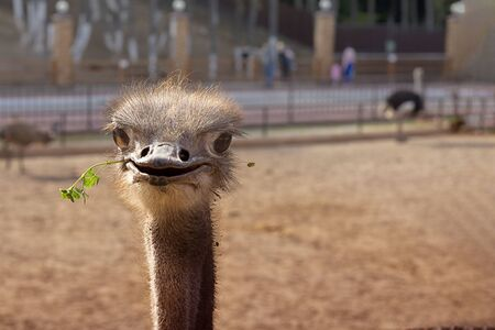 Funny positive smiling ostrich with green grass in its nib in zoo. The head of the big bird peeping out. Picture for blog, emotions, cute animal. Horizontal with copy space 写真素材