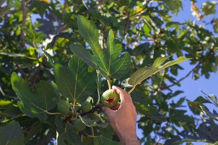 man hand picks up fresh green fig from the tree with big leaves Horizontal. For wallpaper and design about gardening, growing up fruit plants, harvest Imagens