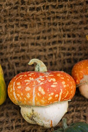 Decorative Pumpkin mushroom or turban-shaped, White and red. On aged line rope backdrop. Wallpaper about gardening and harvest, healthy product, Halloween, autumn, Vertical with copy space