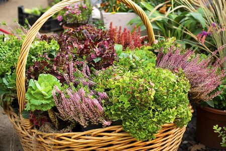 Autumn composition with yellow tansy flowers in a wicker basket on a wooden background. Harvest, fall, colour, Green and violet. Garden design, Horizontal