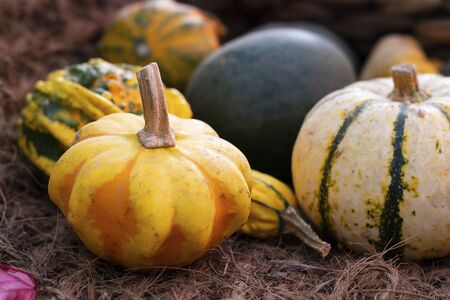 Halloween autumn decorative background round and star shaped colorful squash pumpkins on natural old aged line rope backdrop. Wallpaper, gardening and harvest, healthy product, Horizontal. Close up