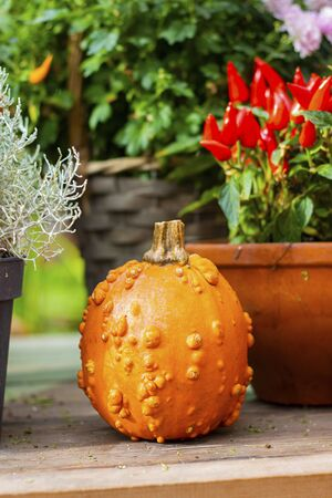 Halloween autumn decorative background round colorful warty squash pumpkins on wooden table with defocused red pepper in pot. Wallpaper gardening, harvest, healthy product, design, Vertical