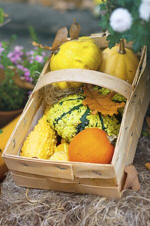 Halloween autumn decorative background round and star shaped colorful squash pumpkins in natural basket and aged line rope backdrop. Wallpaper about gardening and harvest, healthy product, Vertical Imagens