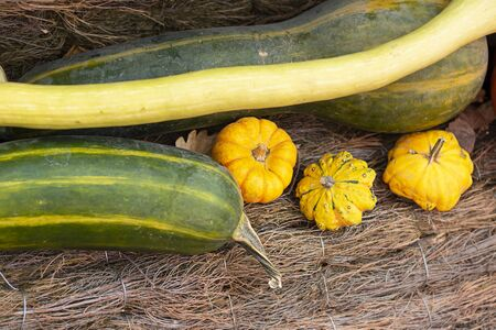 Halloween autumn decorative background long and star shaped colorful squash pumpkins in natural basket and aged line rope backdrop. Wallpaper about gardening and harvest, healthy product, Horizontal