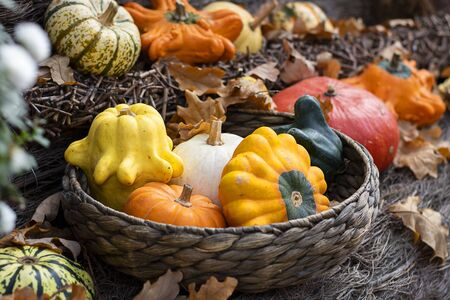 Halloween autumn decorative background star shaped colorful squash pumpkins in natural basket and aged line rope backdrop. Wallpaper about gardening and harvest, healthy product, Horizontal