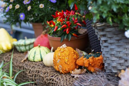 Halloween autumn decorative background round and star shaped colorful squash pumpkins on natural old aged line rope backdrop. Wallpaper about gardening and harvest, healthy product, Horizontal