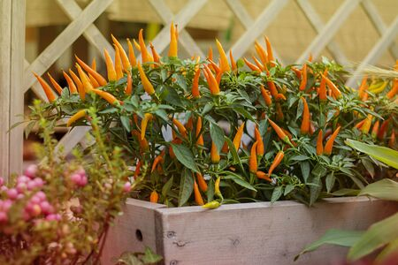 ripe bright orange hot chili peppers on plant. Selective focus. Horizontal with copy space. Wallpaper about garde design and harvest, autumn,