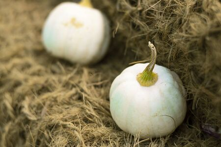Many small white Pumpkins on natural old rustic rope backdrop, Selective focus. Orange warm tone. Vertical with copy space. Halloween autumn decorative background Wallpaper, gardening and harvest Imagens