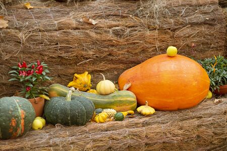 Halloween bright decorative background different color and shape squash pumpkins on natural rustic rope backdrop. Wallpaper about gardening and harvest, healthy product, Horizontal