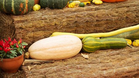 Halloween bright decorative background different color and shape squash pumpkins on natural rustic rope backdrop. Wallpaper about gardening and harvest, healthy product, Horizontal banner