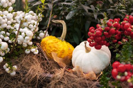 Halloween bright decorative background, two star shape squash pumpkins on natural rustic rope backdrop. Wallpaper about gardening and harvest, healthy product, Horizontal