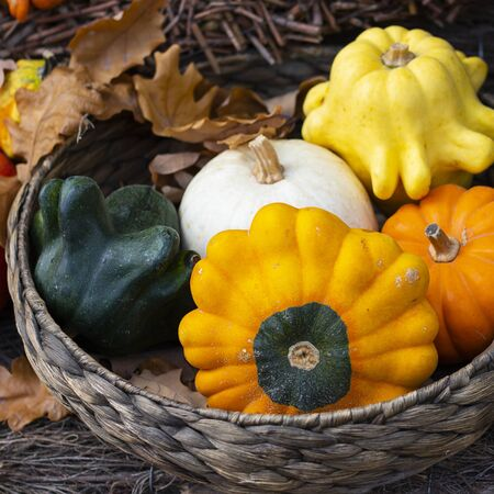 Halloween bright decorative background star shaped colorful squash pumpkins in natural basket and aged line rope backdrop. Wallpaper about gardening and harvest, healthy product, Square