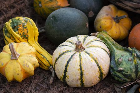 Halloween bright decorative background round and star shaped colorful squash pumpkins on natural aged line rope backdrop. Wallpaper about gardening and harvest, healthy product, Horizontal Closeup