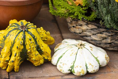 Two Halloween bright decorative background star shaped colorful squash pumpkins in natural basket and aged line rope backdrop. Wallpaper about gardening and harvest, healthy product, Square