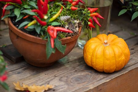 Halloween autumn decorative background round colorful warty squash pumpkins on wooden table with defocused red pepper in pot. Wallpaper gardening, harvest, healthy product, design, Horizontal