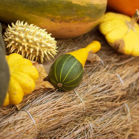 Halloween autumn background pear shaped pumpkins on natural aged line rope backdrop. Wallpaper about gardening and harvest, healthy product, Square Imagens