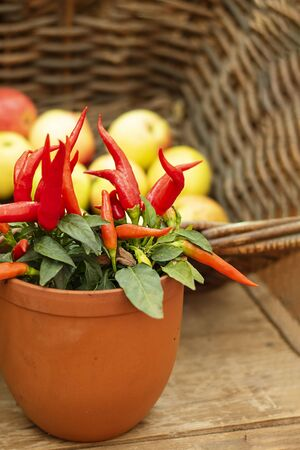 ripe bright red hot chili peppers on plant in pot on the background of defocused basket with appeles. Selective focus. Horizontal with copy space. Wallpaper about gardening and harvest, autumn, Imagens
