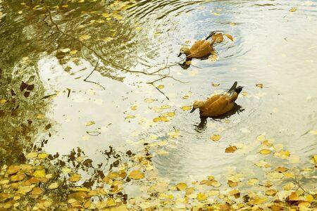 Two Ruddy Shelduck, Tadorna ferruginea, swim in water on pond in autumn park with yellow leaves. Horizontal with copy space. Season. Stok Fotoğraf
