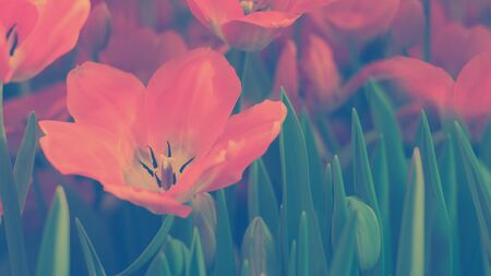 Red Tulips Darwiorange kind in blossom, beautiful spring flower in light, Horizontal banner with copy space. Classic, blue monochrome, trend 2020, duotone