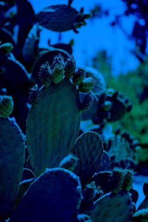 Cactus Opuncia or Prickly Pear with green fruits. Classic, blue monochrome, trend 2020