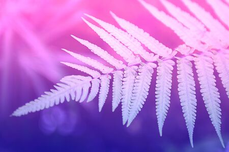 Pale fern leaf on the background of defocused forest. Ultra violet and pink duotone. Horizontal. Pattern, postcard or Wallpaper. Stockfoto