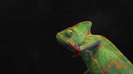 Green chameleon isolated on black background with copy space. Selective focus. Wild animals. 写真素材 - 149516632