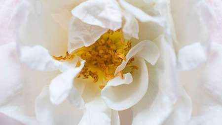 Closeup white wild rose flower. Trendy macro bloom and flowerscape picture. Creative horizontal banner, open composition. Beautiful petals, yellow stamens. Botanic and gardening. Selective focus,