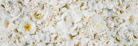 Live wall of tender white wild roses. Long banner. Full bloom background for wallpaper, decoration and creative flora design. Trendy monochrome carpet of flowers for presswall for wedding, birthday. Stock fotó