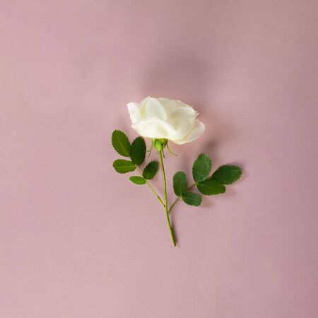 Fresh white rose with short steam and green leaves on pastel pink background. Creative square flower background, wallpaper or postcard. St. Valentine's and wedding concept