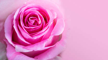Close up of bright pink rose with beautiful petals. Long horizontal banner with baige space for text or design. Gift, Postcard for Valentine's or women's day. Macro picture of beautiful flower.