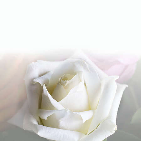 Close up of clean triangle white rose with beautiful petals. Square with copy space for text or design in upper part. Postcard for mother's, women's, wedding, valentine's day. Macro picture of flower. Stock fotó