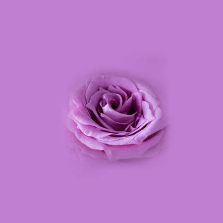 Close up of fresh bright violet rose on empty monochrome background, Macro shot, picture for postcard and wallpaper. St. Valentine's, mother's, women's day or birthday. Square Isolate.