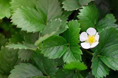 White strawberry flowers blooming in summer surrounded with green leaves. Horizontal with copy space. Plants and gardening. Stock fotó