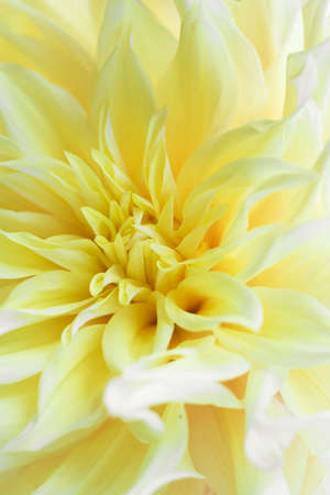 Tender Yellow Kelvin Floodlight Dahlia with long triangle petals. Close up photo for wallpaper or postcart. Beautiful flower background. Vertical. Selective focus. Stock fotó