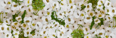 Flowers wall with white buds of alissum. Close-up. Background. Long horizontal banner. Stock fotó