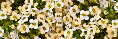 Flowers wall with white buds of alissum. Close-up. Background. Long horizontal banner. Selective focus