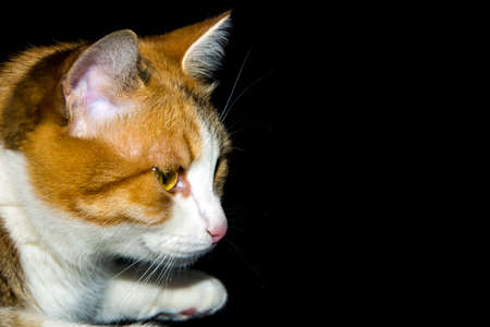 Profile portrait of a kitten looking to the black background Stock Photo