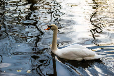 A Beautiful White Swan On The Lake
