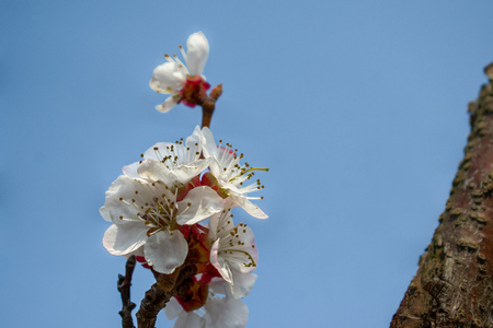 Beautiful apricot flowers on a sunny day Stock fotó