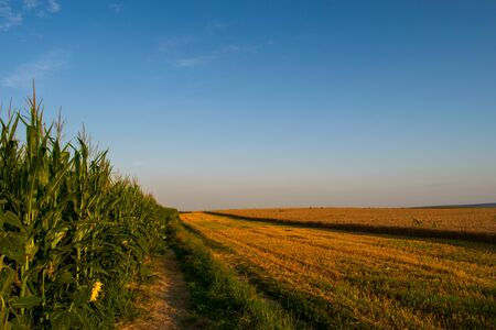 Beautiful field of corns and blue sky Banco de Imagens