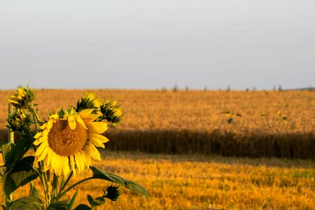 Beautiful field of sunflowers and blue sky Banco de Imagens