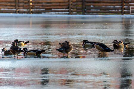 Ducks sitting on a frozen lake in the winter season