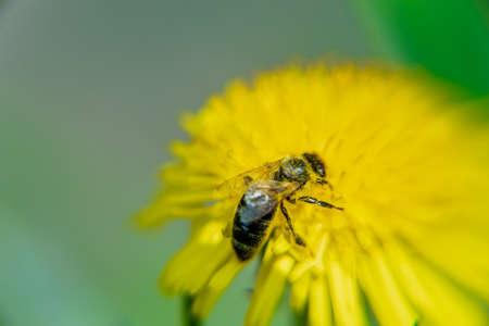 A bee on a beautiful yellow dandelion, Taraxacum erythrospermum